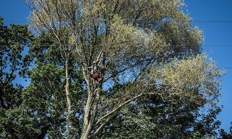 Felling Tree Around Powerlines